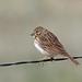 Vesper Sparrow, Pawnee Grasslands, Weld, Colorado by Terathopius