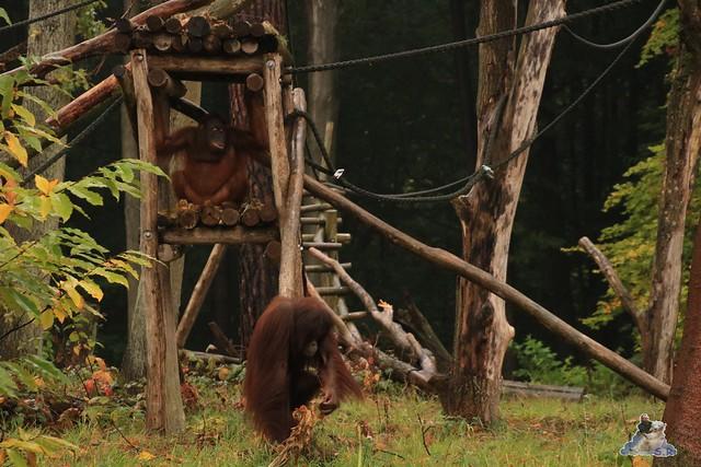 Eisbär Fiete im Zoo Rostock 17.10.2015  0148