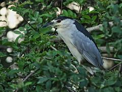 2015-11-08 YC BC Night-Herons