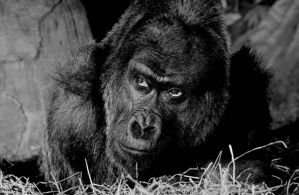 Gorilla_3