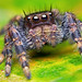Phidippus audax jumping spider by Tibor Nagy