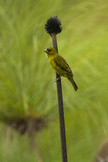 Papyrus Canary - Uganda_MG_1468