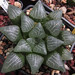 Haworthia bayeri, IB07095, Uniondale, top of hill with the old fort by juan_y_ana