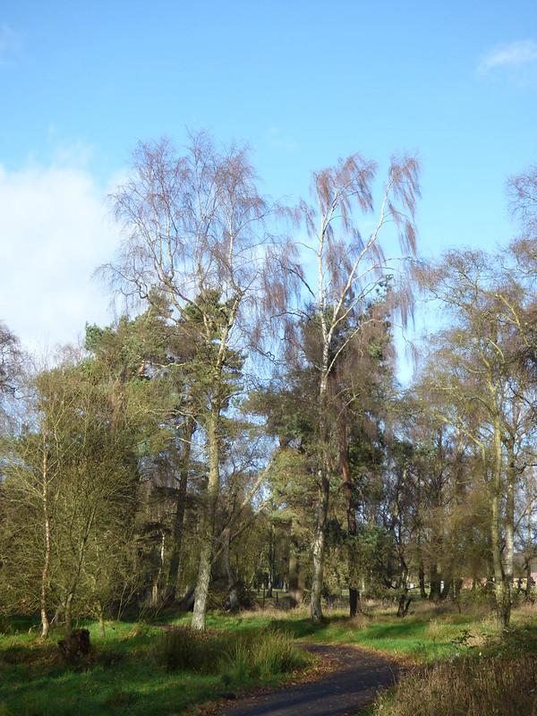 Silver Birch - Betula pendula