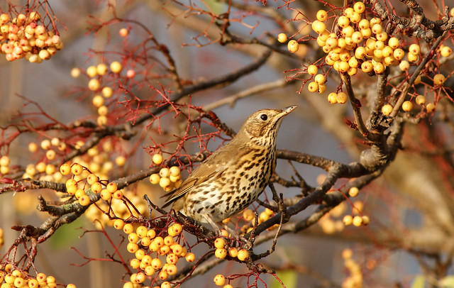 Song Thrush,Hessle,East Yorkshire.