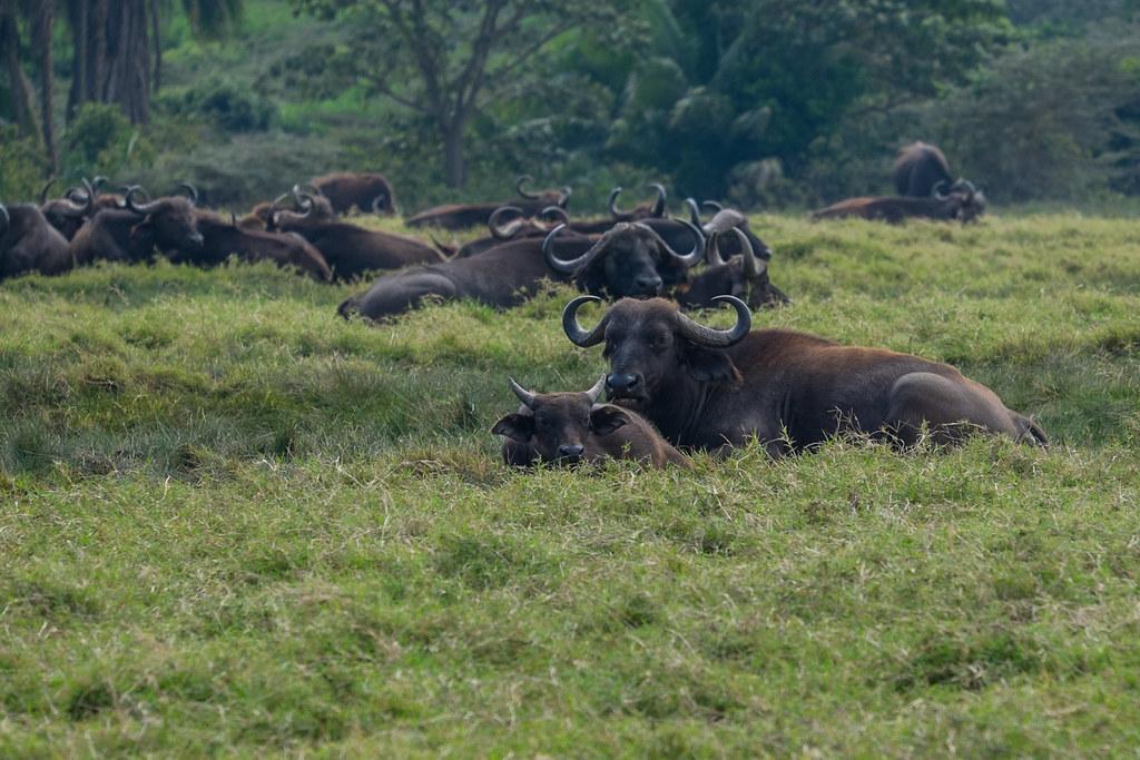 Afrikanische Büffel (Syncerus caffer) - Abstieg - 4. Tag Mount Meru Tour zur Akklimatisierung. Tansania - Kilimanjaro Kraterschläfer Expedition 2016, Wikinger Reisen