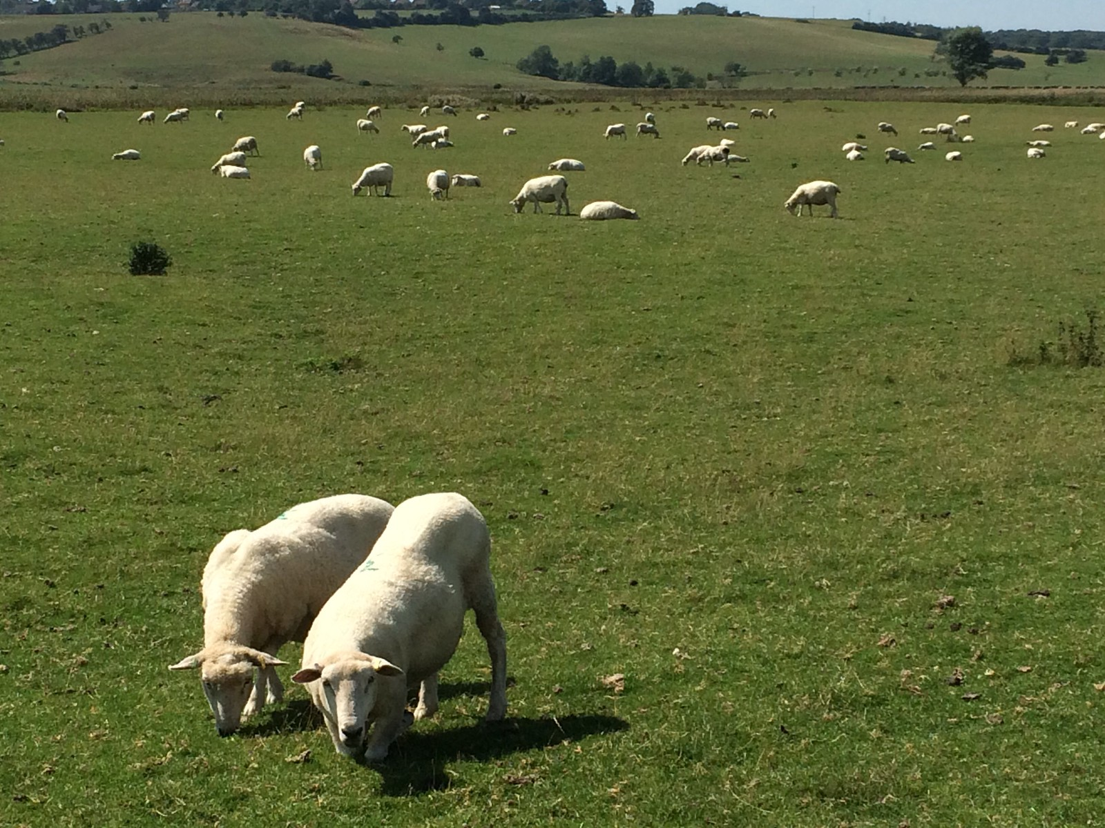 August 22, 2015: Winchelsea to Hastings Grazing sheep