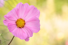 blossom(0.0), plant(0.0), annual plant(1.0), flower(1.0), garden cosmos(1.0), yellow(1.0), macro photography(1.0), wildflower(1.0), flora(1.0), close-up(1.0), plant stem(1.0), cosmos(1.0), pink(1.0), petal(1.0),