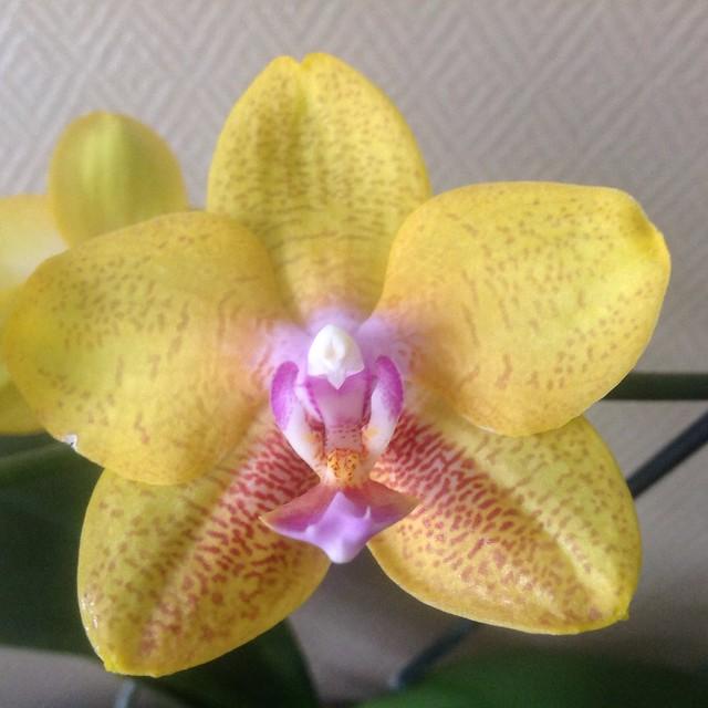 Floraison des orchidées de juin à........... 21228314618_8d0c77bea0_z