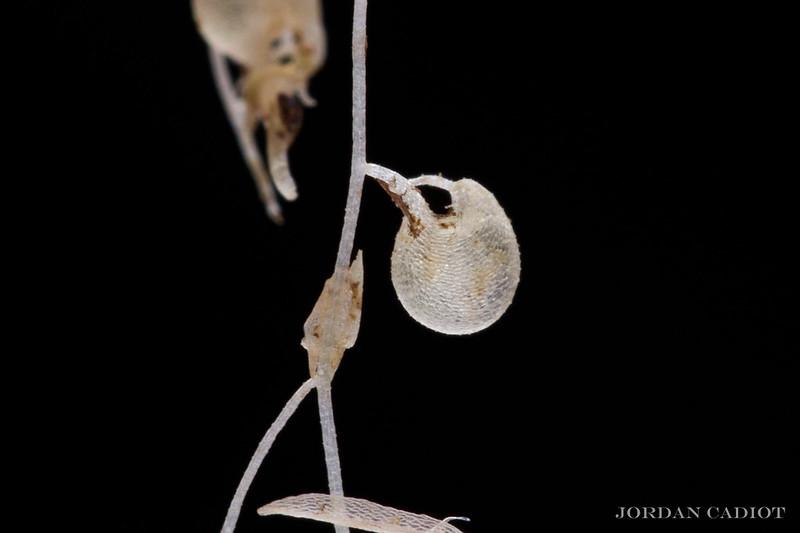 "Poil sensitif Dionaea 'UK sawtooth II"" et utricule d'Utricul 21248523846_b2b24661b8_c"