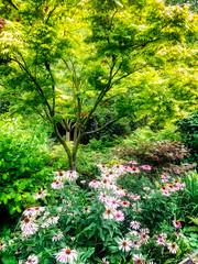 Cone Flowers Under Japanese Maple