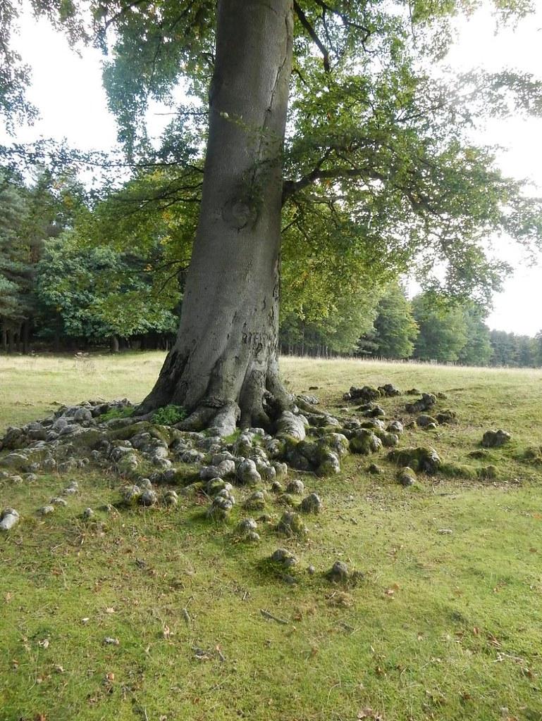 Lumpy roots Borough Green to Sevenoaks