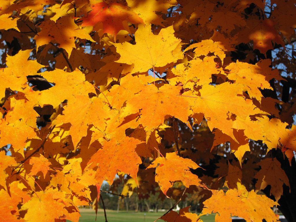 Acer saccharum (sugar maple tree in fall colors) (Country ...