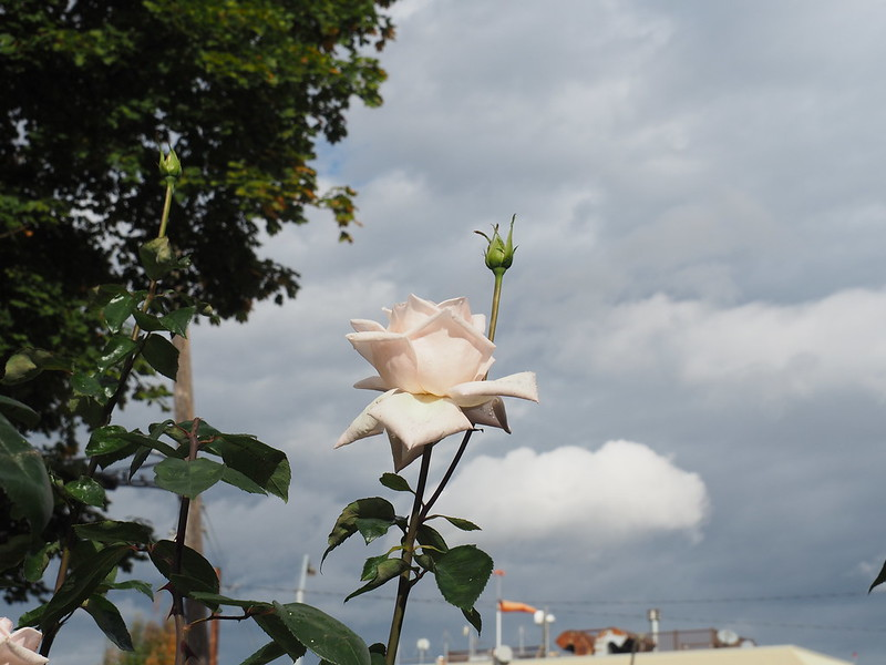 UPDATE and a lovely rose