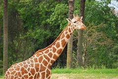 Giraffa camelopardalis reticulata DT [ES Zoo Madrid] (1)