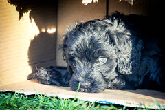 Portuguese-Water-Dog-puppies-19.jpg