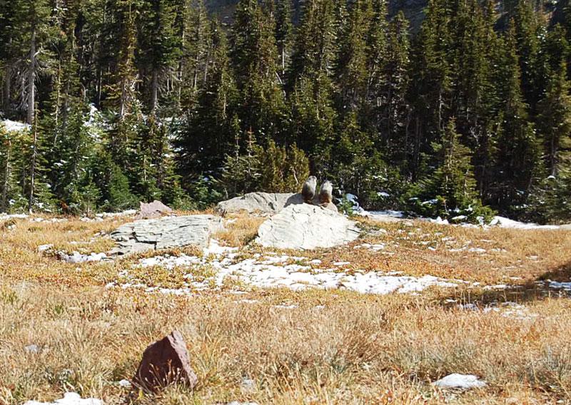 marmots-on-rock