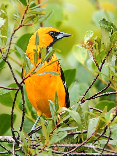 Spot-breasted Oriole 20151130