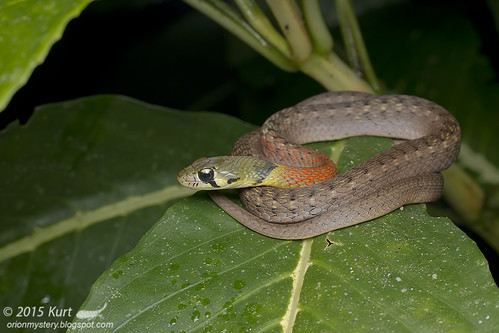 Rhabdophis subminiatus_MG_4906 copy