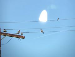 White-winged Dove, La Quinta Cover, Riverside County, 5 Dec 2015