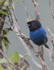 Golden crowned Tanager,  Iridosornis rufivertex