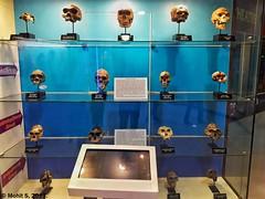 Evolution of Hominid Skulls.