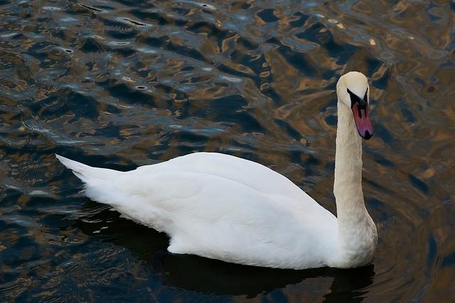 Swan, Bristol, August 2015