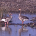 Small photo of Greylag Geese