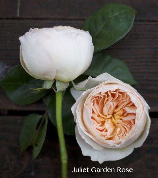 Juliet_Peach_Garden_Rose