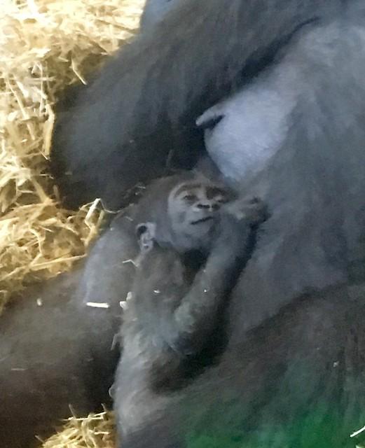 Sleeping baby gorilla, Apple iPhone SE, iPhone SE back camera 4.15mm f/2.2