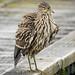 Garza Bruja / Huairavo / Black-crowned Night-heron / Nycticorax nycticorax falklandicus