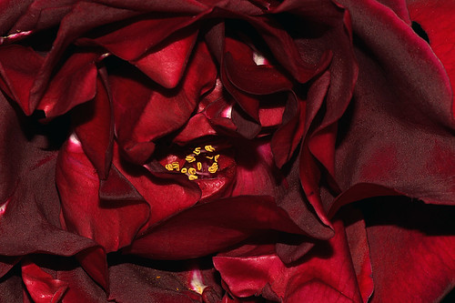 Petals of a red rose