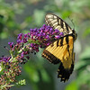 Tiger swallowtail on purple buddleia by Vicki's Nature