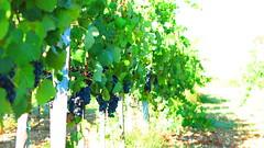 Shiraz-Grapes-Vineyards-Cyprus
