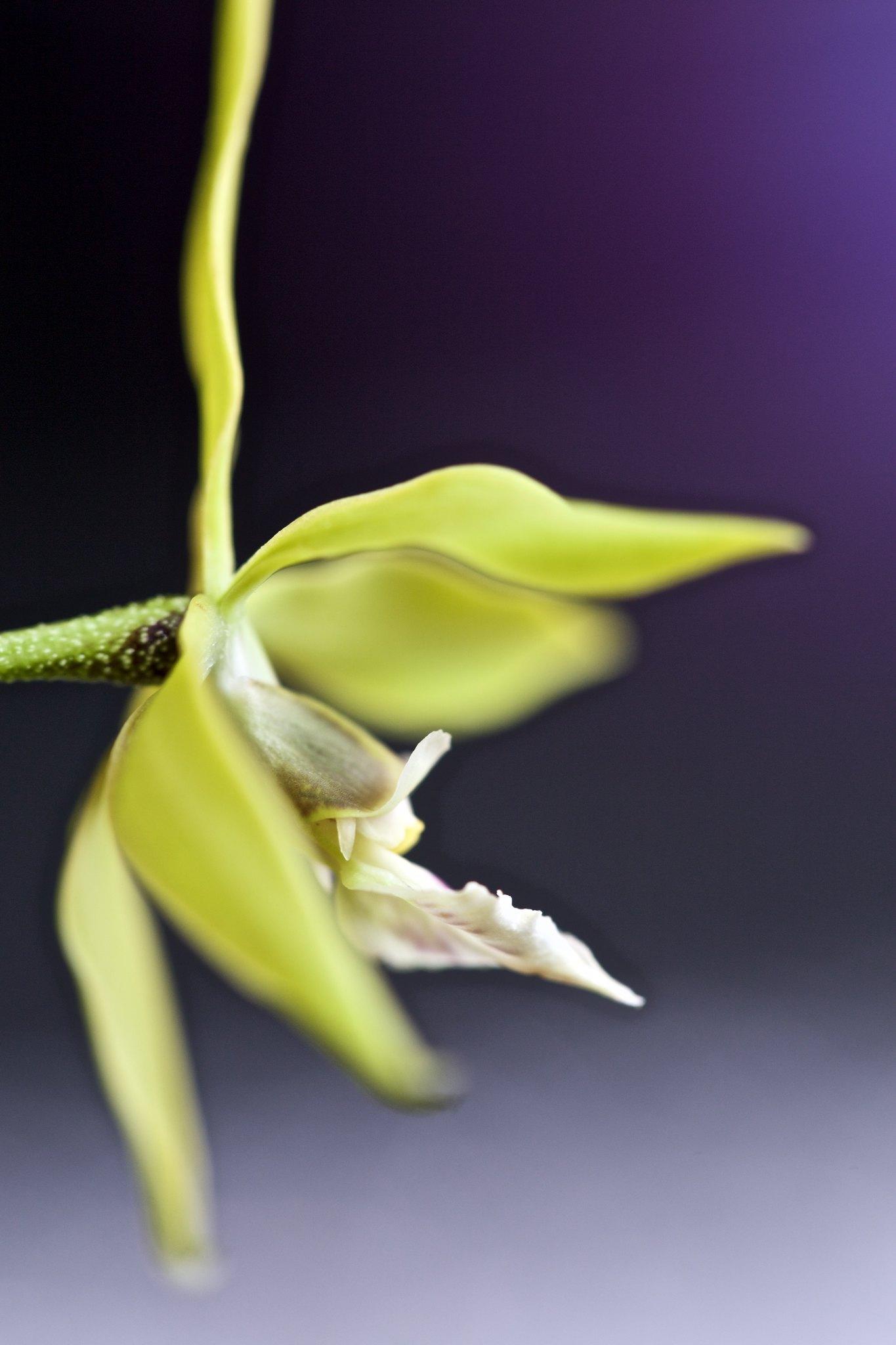 Encyclia ceratistes 21836293065_d004ffb85f_k