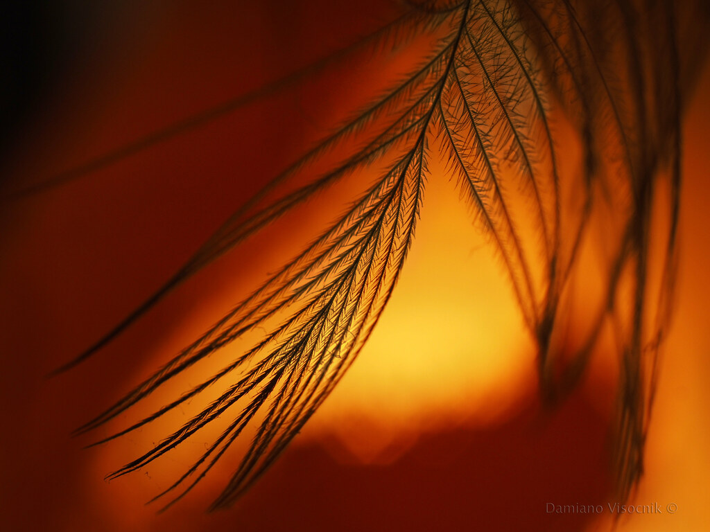Lyrebird feather detail_c