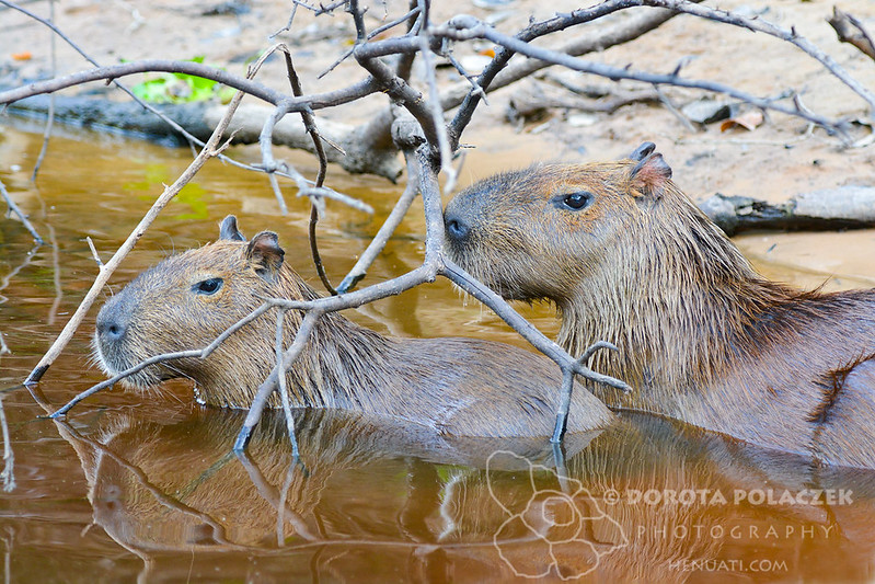 Giant capybara (Hydrochaeris hydrochaeris) with a baby