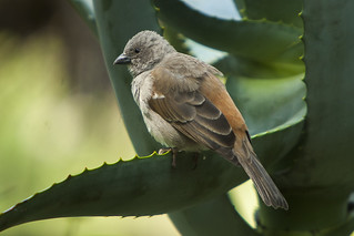 Grey-headed Sparrow - Kenya_0138