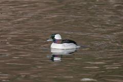 IMG_3233.jpg Bufflehead duck male, San Lorenzo River