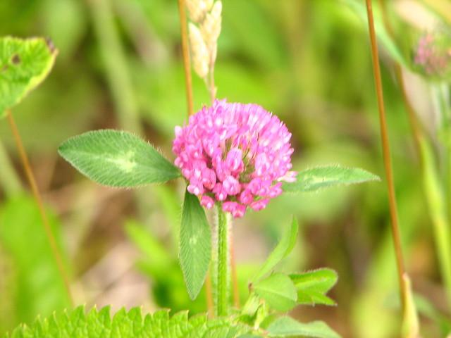 alfalfa flower | Flickr - Photo Sharing!