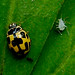 14-spot Ladybird - Photo (c) Rosana Prada, some rights reserved (CC BY)
