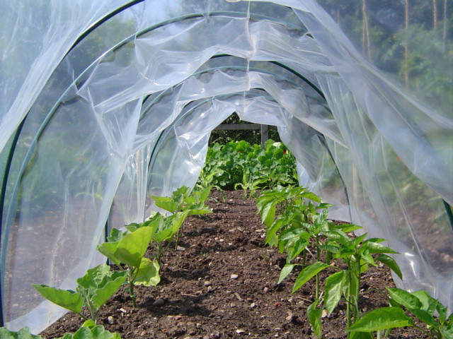 Peppers in a plastic tunnel on the allotment
