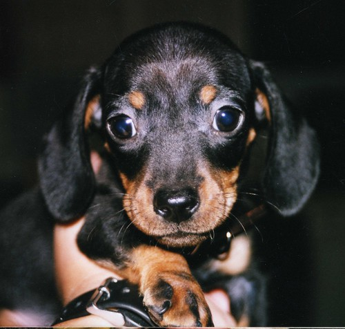 Jimmy Dean at 8 Weeks Old