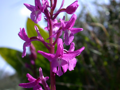 Four-spotted orchid