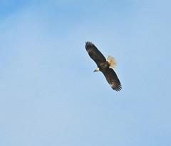 falcon(0.0), vulture(0.0), animal(1.0), hawk(1.0), bird of prey(1.0), eagle(1.0), wing(1.0), fauna(1.0), buzzard(1.0), bald eagle(1.0), accipitriformes(1.0), beak(1.0), bird(1.0), flight(1.0),