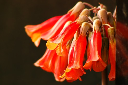 Kalanchoe delagoensis flowers