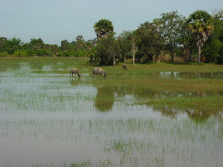 Water buffaloes on a rice field