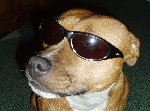 Cool dogs with sunglasses - photo#27