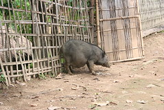 domestic pig(0.0), animal(1.0), peccary(1.0), wild boar(1.0), pig(1.0), fauna(1.0), pig-like mammal(1.0),