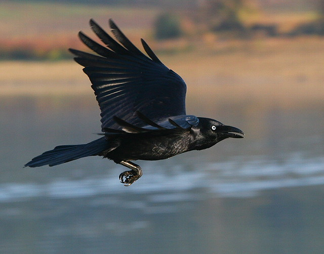 Crow In-flight